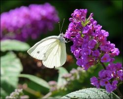Pieris napi, male by J-Y-M