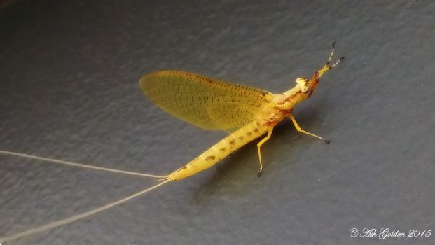 Mayfly... Taken with Phone. by SnakeGeisha