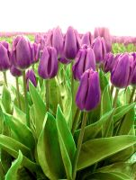 Purple Tulips II by Photos-By-Michelle