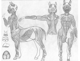 Centaur Anatomy _ Muscles by JEDI-Sheng