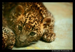Baby Leopard by TVD-Photography