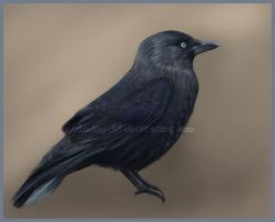 Jackdaw by Aisling88