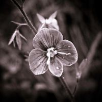 Speedwell by S4SH4X