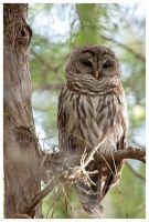 Cypress Dome Barred Owl by StringOfLights