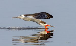 Skimming Skimmer by Grouper
