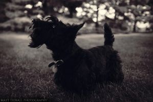 Scotty Dog by mattTIDBALL