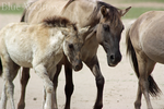 Mare with foal by VitaniFox85