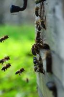 bees by MarCiacho