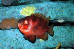 Red Fish 1 by ACrazyCharade-Stock