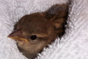 Baby Sparrow by HappyWorker