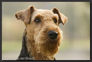 Airedale by Boschfoto