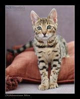 Bengal kitten ... by wazabees