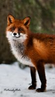 The Red Fox_4 by PictureByPali