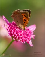 Small Copper by AnnaKirsten