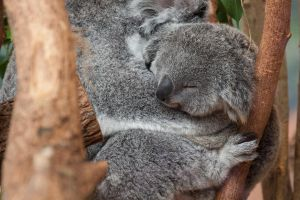 5104 - Young koala by Jay-Co
