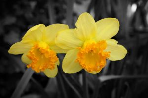 Day 196: Daffodil by ImRllyLovely