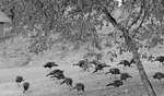 Wild Turkeys2 by ahhsummer