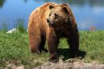 Brown Bear Bamse by JaneFox
