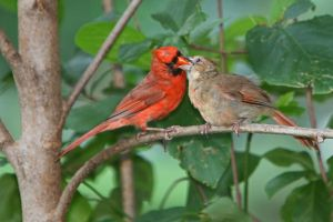 Cardinal feeding chick by clippercarrillo