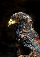 Bateleur Eagle 01 by s-kmp