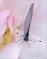 Holly blue butterlfy by AnnaKirsten
