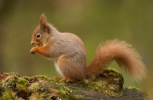 Of course I am cute  - Red Squirrel by Jamie-MacArthur