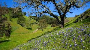 Lupines In The Santa Lucia Range by stardeht