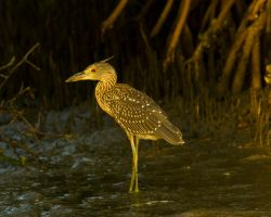 Yellow crowned night heron by Toxicheartproduction