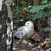 snow owl by mimose-stock
