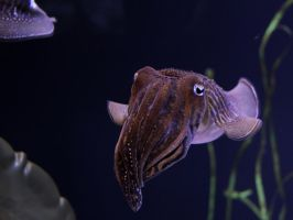A Curious Cuttlefish by KMourzenko