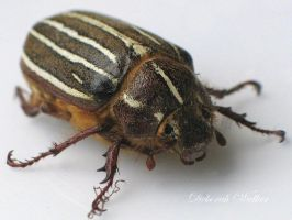 Ten Lined June Beetle-1 by DWALKER1047