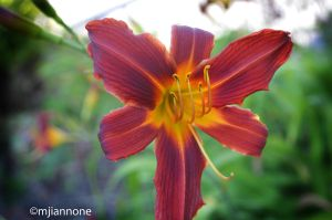 Fire Lily by MelodyIannone