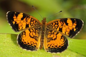 Little Cresant butterfly by natureguy
