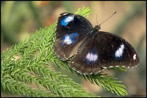 Great Eggfly Butterfly by fayerman