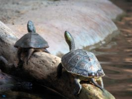 Sunning Turtles by RichGinter