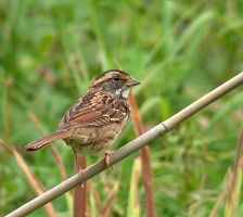 White-Throated Sparrow 01 by JocelyneR