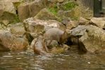 North American River Otters by Sarah-Hann-photo