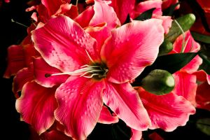 Pink lilly by NolanCF