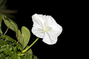 Update..This is Ipomoea carnea by drewii57