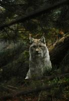 Ilves by KattFloka