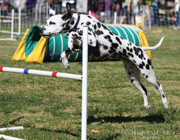 Agility Show n' Go 6 by Deliquesce-Flux