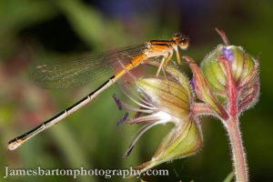 Damselfly 2 by jbcdefg