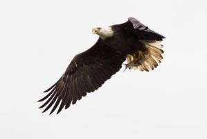 Bald Eagle with Fish by bovey-photo