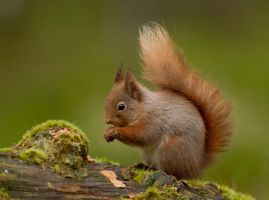 Guard your nuts - Red Squirrel by Jamie-MacArthur