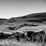Cattle at Carntogher by younghappy
