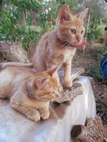 Young red cats 3 by FuriarossaAndMimma