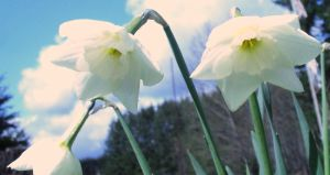 Daffidils by PamplemousseCeil