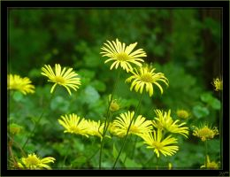 Doronicum - 1 by J-Y-M