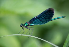 Beautiful Demoiselle by Parides
