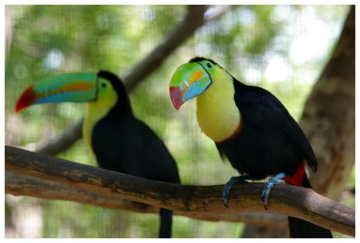 Toucans by operaglasses